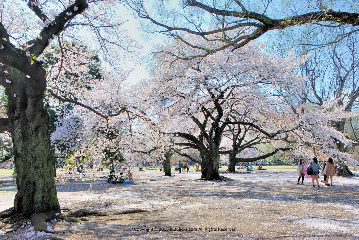 The Tokyo Shinjuku Gyoen National Garden cherry blossoms