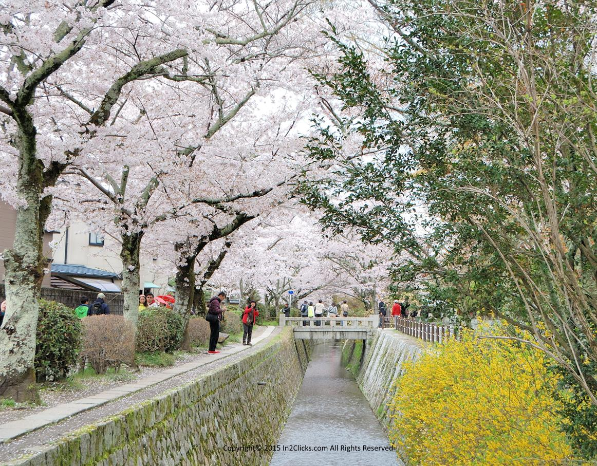 Kyoto Philosopher's Path cherry blossoms