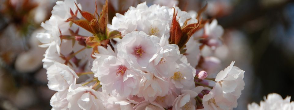 Cherry Blossom Images of Japan